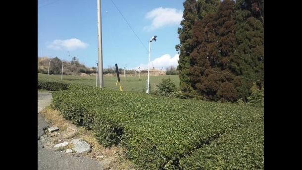 今日のお茶畑です。