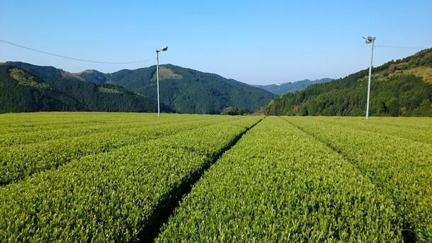 今日のお茶畑です♪